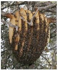 abeilles construit - Guêpes frelons, ALLO FRELONS, destruction, élimination de nids