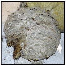 guepes germaniques - ALLO FRELONS, Destruction, élimination, traitement des nids de frelons, frelons asiatiques, guêpes