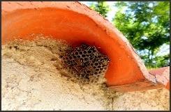 nid polistes - Guêpes frelons, ALLO FRELONS, destruction, élimination de nids