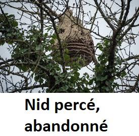 nid abandonné - Que deviennent les nids de frelons asiatiques l'hiver ?