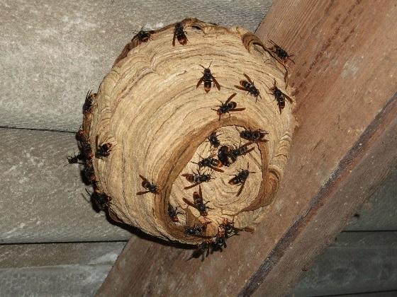 nid primaire asiat - Que deviennent les nids de frelons asiatiques l'hiver ?