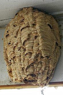 nid - Frelons européens, détruire un nid