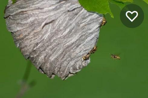 dolichovespula - Les guêpes, biologie, espèces et solutions