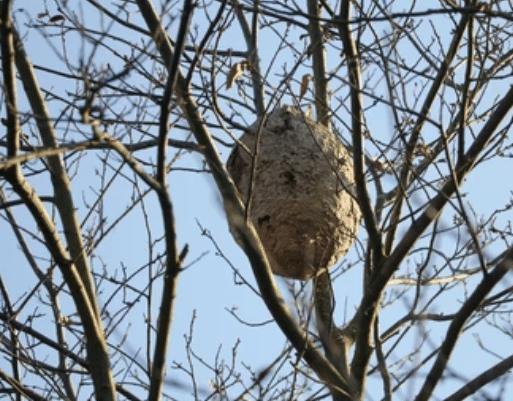 image 4 - Frelons Villeneuve sur Lot entreprise qui détruit les nids