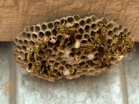 image 5 - Frelons Villeneuve sur Lot entreprise qui détruit les nids