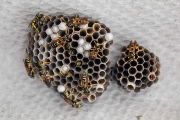polistes toit - Les guêpes, biologie, espèces et solutions