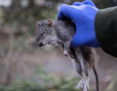 rat - Dératiseur Toulouse, entreprise de dératisation